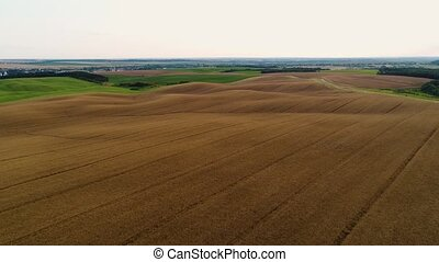 A field with a ripe dry rape. Aerial view.
