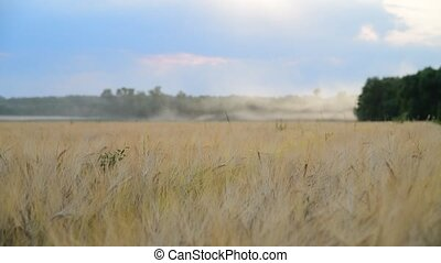 field with beautiful ripe rye in Russia - A field with...