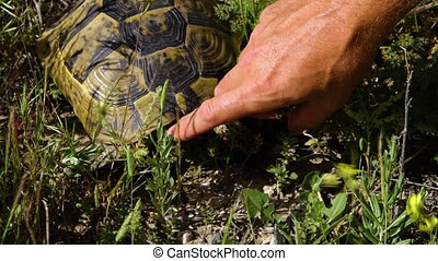 A finger strokes a common tortoise's head in windy grass