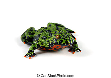 Fire Bellied Toad - A Fire Bellied Toad (Bombina orientalis)...