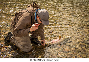 A fisherman landing a large chum salmon in shallow water by the tail