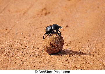 Flightless Dung Beetle, Circellium bacchus in the Addo Elephant National Park in South Africa.