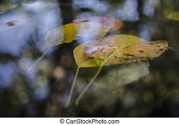 a floating on the puddle yellow leaves of trees and a reflection of a tree, autumn