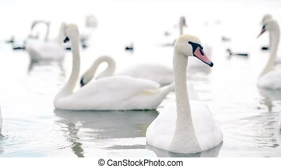 A flock of beautiful white swans swimming in the lake.