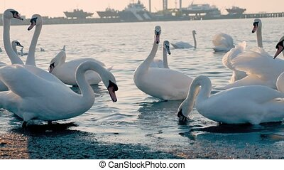 a flock of beautiful white swans swims in the sea. migratory...