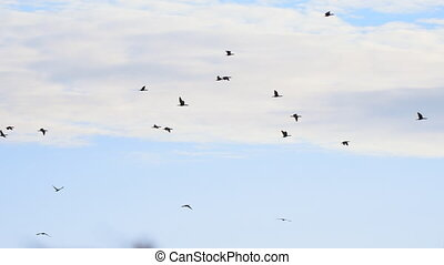 A flock of Big black cormorants flying against the cloudy sky