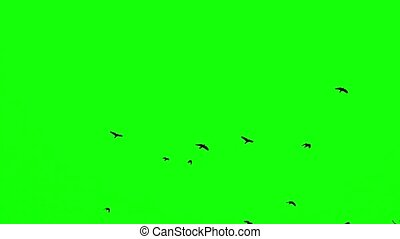 a flock of black crows flies upwards on a green screen slow motion