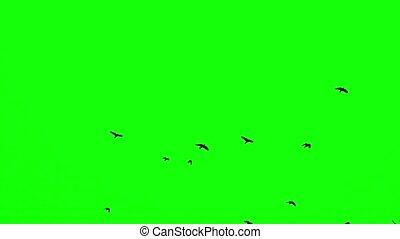 a flock of black crows flies upwards on a green screen slow motion