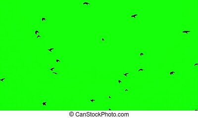 a flock of black crows flying upwards on a green screen