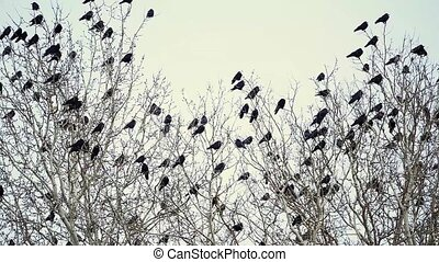 A Flock of Black Crows Sitting on a Tree