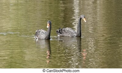 A flock of black swan swims on surface of pond.