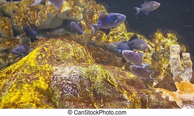 A flock of blue fish under water near the rocks