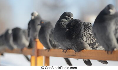 A flock of blue gray pigeons sitting on the fence and then flies away