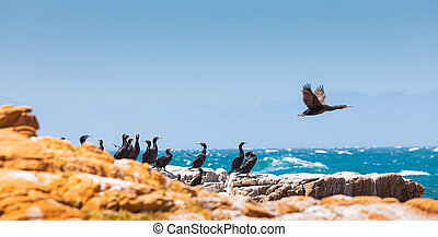 A flock of Cape cormorant aquatic sea birds on the coast of False Bay, Cape Town, South Africa