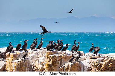 A flock of Cape cormorant aquatic sea birds on the coast of False Bay, Cape Town, South Africa