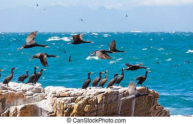 A flock of Cape Cormorant aquatic sea birds taking flight off the coast of Cape Town