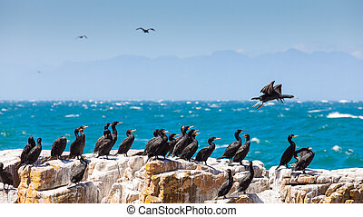 A flock of Cape Cormorant aquatic sea birds taking flight off the coast of Cape Town