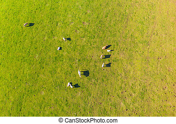 a flock of cows on a meadow from above