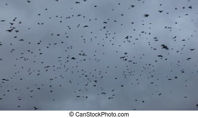 A flock of crows circling in the sky