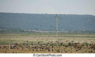 A flock of crows in the field