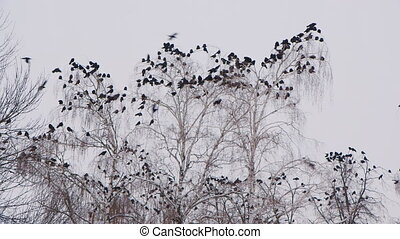 A flock of crows sitting on a tree in winter