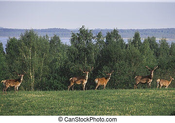 A Flock of deer with summer fur grazing on green grass field near a forest , a herd of deer eating on the open meadow near the lake