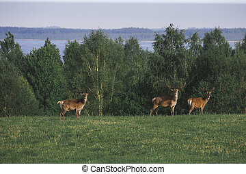 A Flock of deer with summer fur grazing on green grass field near a forest , a herd of deer eating on the open meadow with beautiful green forest lake and mountain in background