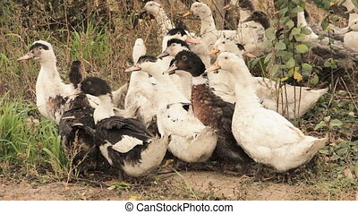 A flock of domestic ducks 2 - A flock of domestic white and...