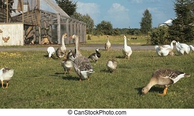 A flock of domestic geese on the farm HD