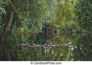A flock of ducks floating on the pond water 7895.