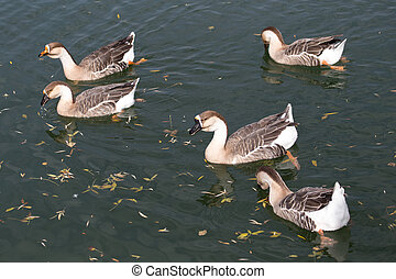 a flock of ducks on the lake in autumn