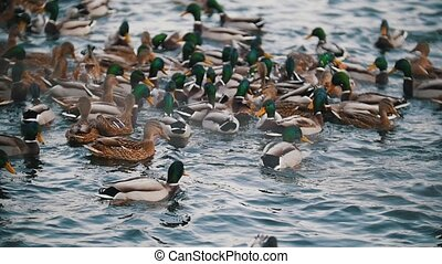 A flock of ducks swimming in the lake. Close up