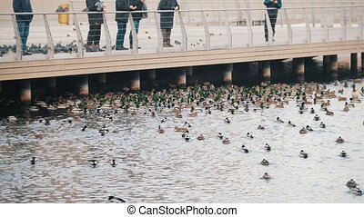 A flock of ducks swimming in the lake. People watching and...