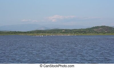 a flock of flamingos on the territory of Solana Ulcinj -...
