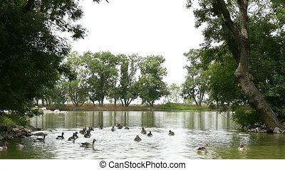 A flock of geese swimming in a picturesque pond in Ukraine in summer in slo-mo