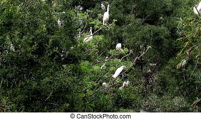 A flock of heron in the tree