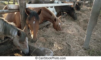 A flock of horses eating hay