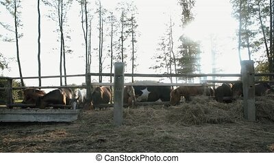 A flock of horses eating hay HD