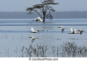 A flock of Ibises in a natural habitat. Kenya . Lake Nakuru...