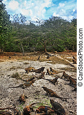A flock of iguanas in the Dominican Republic