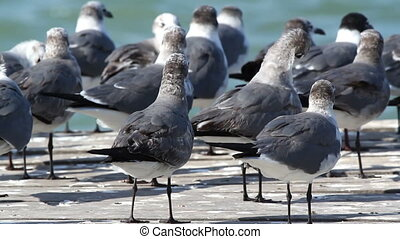 a flock of laughing gulls on  a pier in ria largartos, mexico