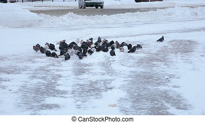 A flock of pigeons in the winter city snow-covered Park.