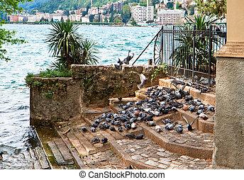 A flock of pigeons on Lake Lugano