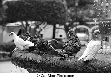 A flock of pigeons sitting on the fountain in hot summer