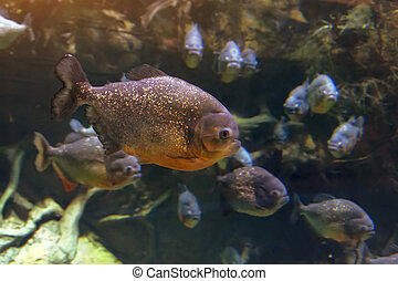 A flock of piranha fish in the dark waters of the Amazon River.
