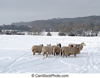 A Flock of Sheep in the Snow