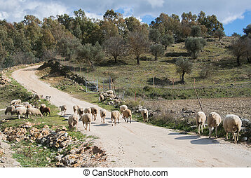 A flock of sheep on a spring day up on the road in Ronda, Spain.