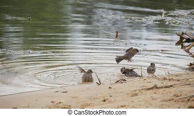 A flock of sparrows bathing, drinking and flying off on a...
