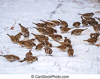A flock of sparrows peck at seeds on the white snow.