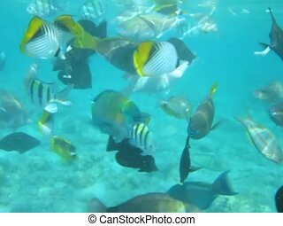 A flock of tropical sea fish in blue water